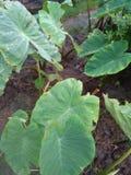 Planta vegetal muito agradável em áreas rurais foto de stock