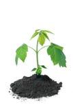 Planta verde Foto de archivo libre de regalías