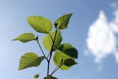 Planta verde abstrata de encontro ao céu azul Fotografia de Stock