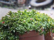 Planta verde bonita do raio de sol com as flores cor-de-rosa e vermelhas em um potenciômetro foto de stock