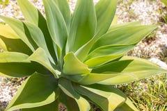 Planta verde-clara da agave Fotografia de Stock