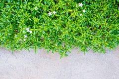 A planta verde com as flores pequenas no assoalho, texture o concreto, Imagem de Stock Royalty Free