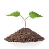Planta verde com as folhas na terra isolada imagem de stock royalty free