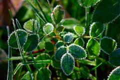 Planta verde com hoarfrost fotos de stock royalty free