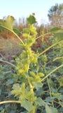 Planta verde com muitos espinhos Fotos de Stock