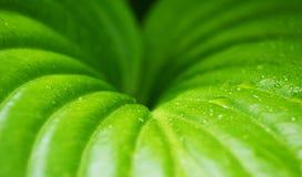 Planta verde con gotas de rocío, fondo de la hoja Fotos de archivo