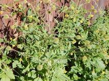 Planta verde con las flores amarillas Fotografía de archivo