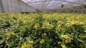 Planta verde con las flores amarillas Flores crecientes en una escala industrial metrajes