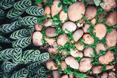 Planta verde con las hojas que crecen a través de la piedra de los guijarros con c Foto de archivo