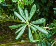 Planta verde con las hojas y las semillas Fotos de archivo libres de regalías