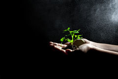 Planta verde creciente en manos Fotos de archivo libres de regalías
