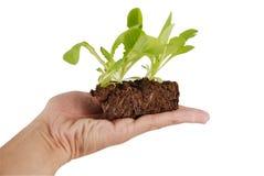 Planta verde creciente en una mano fotografía de archivo