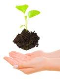Planta verde creciente sobre las manos Imagen de archivo