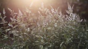 Planta verde da hortelã filme