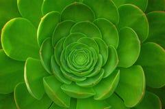 Planta verde de Arboreum del Aeonium Imágenes de archivo libres de regalías