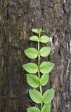 Planta verde de la enredadera Imagenes de archivo