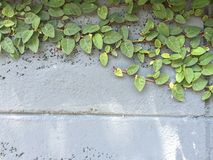 Planta verde de la enredadera en la pared vieja Imágenes de archivo libres de regalías