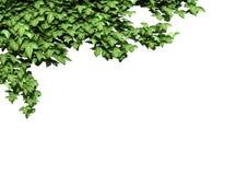 Planta verde de la hiedra aislada Fotos de archivo libres de regalías