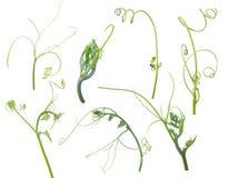 Planta verde de la hiedra aislada en el fondo gris, trayectoria de recortes Imagen de archivo libre de regalías
