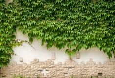 Planta verde de la hiedra en la pared blanca Imágenes de archivo libres de regalías