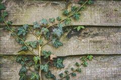 Planta verde de la hiedra que se arrastra a través de una cerca del jardín Imágenes de archivo libres de regalías