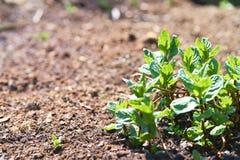 Planta verde de la hierbabuena en suelo marr?n fotos de archivo