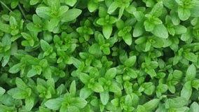 Planta verde de la menta crecer en el jardín almacen de video