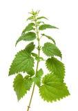 Planta verde de la ortiga Fotografía de archivo