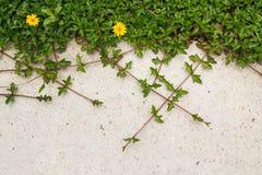 Planta verde del arrastramiento con la flor amarilla en fondo concreto Fotografía de archivo