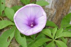 Planta verde del bígaro con las flores Imagen de archivo