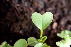Planta verde del corazón que brota en jardín Fotos de archivo libres de regalías