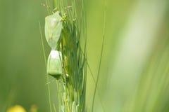 Planta verde del grano en campo Imagen de archivo libre de regalías