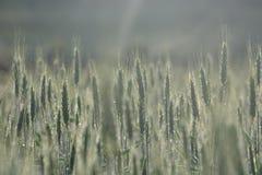 Planta verde del grano en campo Imagenes de archivo