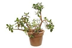 Planta verde del jade en crisol fotografía de archivo