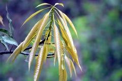 Planta verde del mango en jardín Fotos de archivo libres de regalías