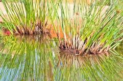 Planta verde del papiro Fotos de archivo
