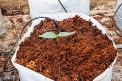 Planta verde del pepino Imagenes de archivo