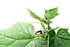 Planta verde del pepino del invernadero en agricultura orgánica Imágenes de archivo libres de regalías