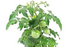 Planta verde del tomate Fotos de archivo libres de regalías