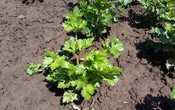 Planta verde do aipo no jardim Imagens de Stock