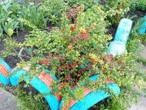 Planta verde do arbusto da mola com flores vermelhas em um canteiro de flores da cidade Imagens de Stock Royalty Free