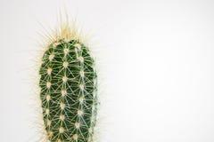 Planta verde do cacto isolada em um fundo branco fotografia de stock