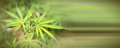 Planta verde do cannabis com fundo do borrão Imagem de Stock