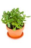 Planta verde do jade no fundo branco. Fotos de Stock
