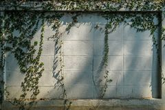 Planta verde do rastejamento no espaço branco da cópia da parede de tijolo da pintura com sombra da luz solar fotos de stock royalty free