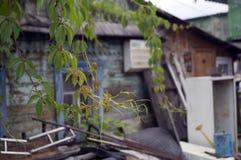 Planta verde do rastejamento no fundo de uma casa de madeira velha imagem de stock