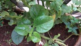 Planta verde do rebento imagem de stock
