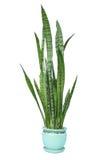 Planta verde do trifasciata do Sansevieria Fotos de Stock Royalty Free
