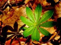 Planta verde e duff Starlike Fotografia de Stock