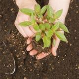 Planta verde e mãos Foto de Stock